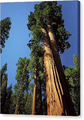 Looking Up A Giant Sequoia Tree Canvas Print by Greg Probst