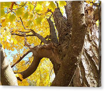 Looking Up The Maple Tree Canvas Print