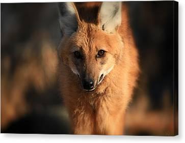 Looks Like A Fox Canvas Print by Karol Livote