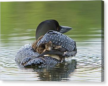 Loon Chick - Peek A Boo Canvas Print