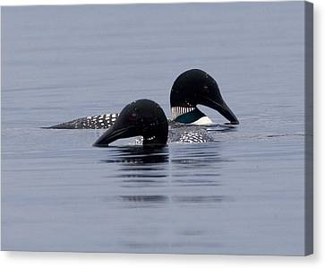 Loon Love Canvas Print by Brent L Ander