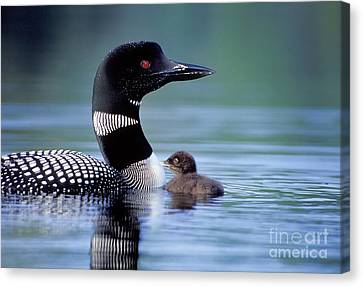 Loon With Chick #16 Canvas Print by Jim Block