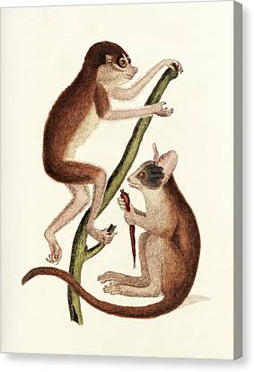 Senegal Canvas Print - Loris And Bushbaby by King's College London