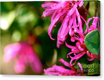 Loropetalum Study 1 Canvas Print