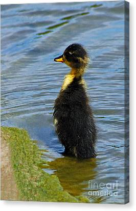 Canvas Print featuring the photograph Lost Duckling by Olivia Hardwicke
