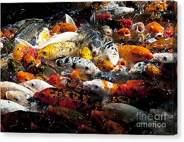 Lots Of Hungry Koi  Canvas Print by Wilma  Birdwell