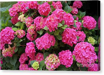 Lots Of Hydrangeas Canvas Print