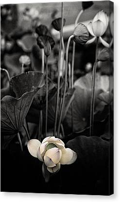 Lotus 5 Canvas Print