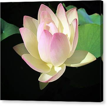 Lotus 9 Canvas Print by Dawn Eshelman