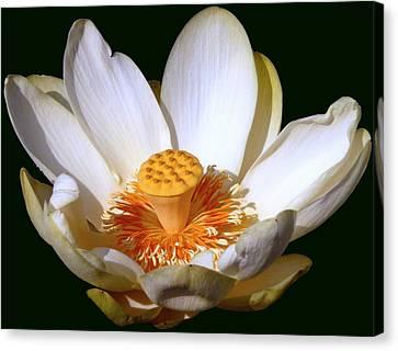 Lotus Blossom #2 Canvas Print