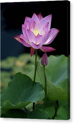 Lotus Blossom Canvas Print