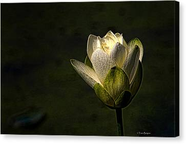Lotus Blossom Canvas Print by Travis Burgess