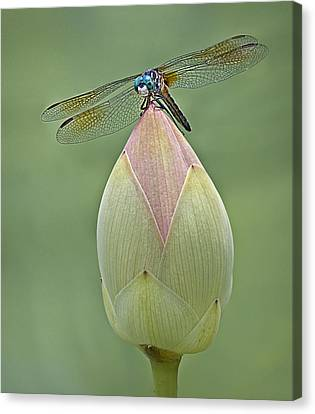 Lotus Bud And Dragonfly Canvas Print by Susan Candelario