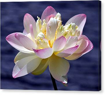 Lotus By The Lake Canvas Print by Gail Butler