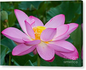 Lotus Dew Canvas Print