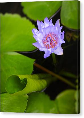 Lotus Flower And Lily Pad Canvas Print by Adam Romanowicz