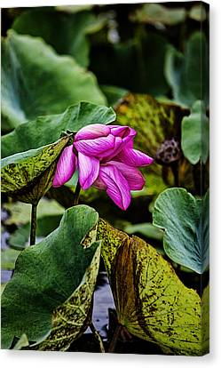 Top-end Canvas Print - Lotus Flower- Gungarre Billabong by Douglas Barnard
