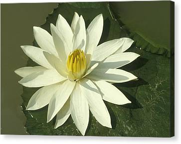 Lotus Flower  Canvas Print by Anonymous