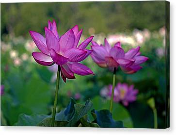 Canvas Print featuring the photograph Lotus Flowers by Jerry Gammon