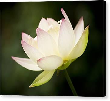 Lotus Glow Canvas Print by Priya Ghose