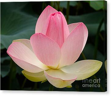 Lotus In Bloom Canvas Print