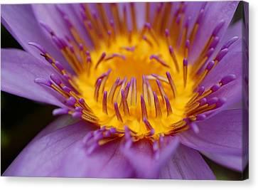 Lotus In Bloom Canvas Print by Janet Hawkins