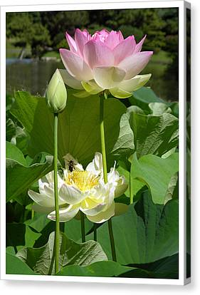 Lotus In Bloom Canvas Print by John Lautermilch