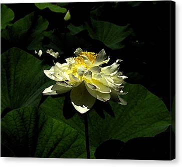 Canvas Print featuring the digital art Lotus In Sunlight by John Freidenberg