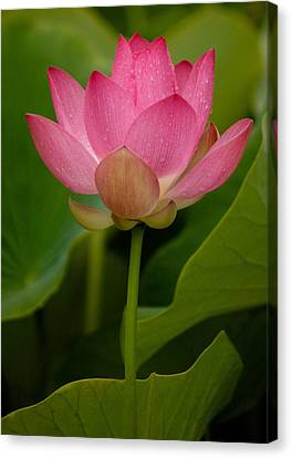 Lotus Light Canvas Print by Bonita Hensley