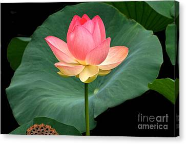 Lotus Of Late August Canvas Print