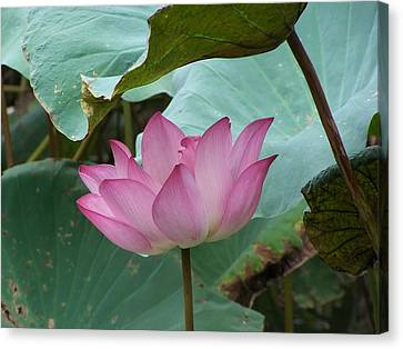Lotus Of The Heart Canvas Print by Steve Huang