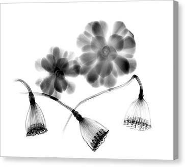 Lotus Seedheads And Houseleeks Canvas Print by Albert Koetsier X-ray