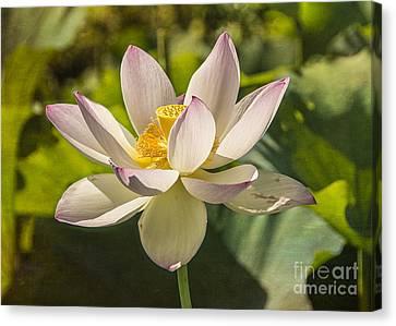 Lotus Shining Canvas Print