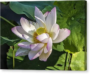 Lotus The Sacred Lily Canvas Print
