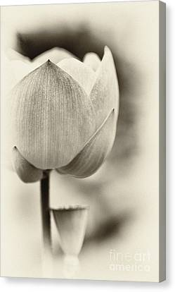 Aquatic Plant Canvas Print - Lotus by Tim Gainey