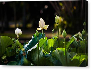 Lotuses In The Evening Light Canvas Print by Jenny Rainbow