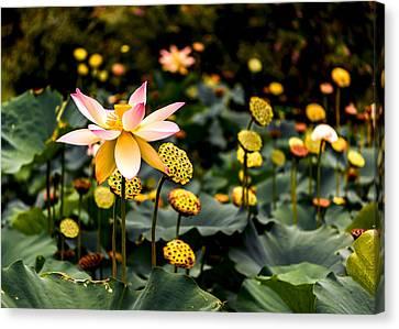Lotuses Canvas Print by Jon Woodhams