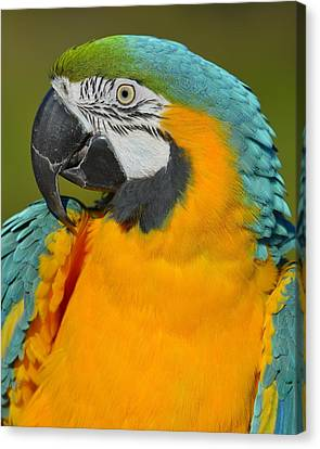 Blue And Gold Macaw Canvas Print - Loud by Tony Beck
