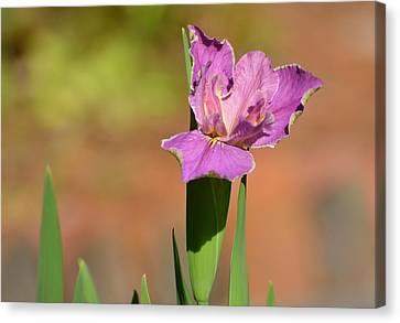 Louisiana Iris Canvas Print by Jodi Terracina