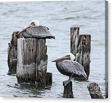 Louisiana Pelicans On Lake Ponchartrain Canvas Print
