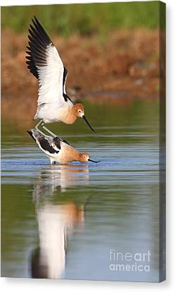 Love Avocet Style Canvas Print by Ruth Jolly