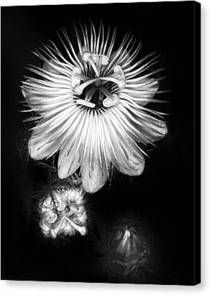 Love-in-a-mist 3 Canvas Print by Patrick M Lynch