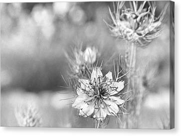 Charming Cottage Canvas Print - Love In A Mist by Caitlyn  Grasso