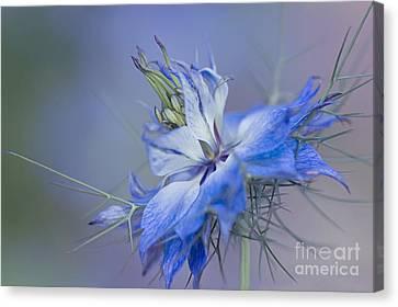 Close Focus Floral Canvas Print - Love-in-a-mist by Jacky Parker