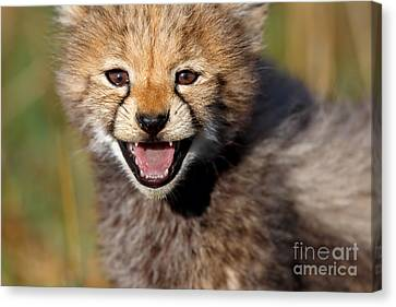 Loveable Portrait Of A Seven Weeks Old Cheetah Cub Canvas Print