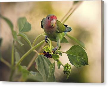 Lovebird On  Sunflower Branch  Canvas Print by Saija  Lehtonen