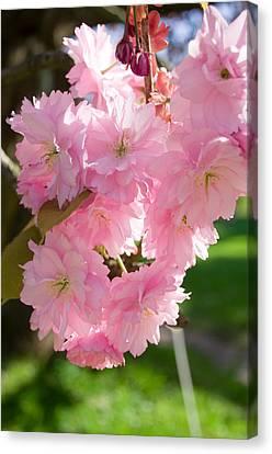 Lovely Cherry Blossom Canvas Print by Iryna Soltyska