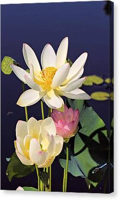 Lovely Lotus Canvas Print by Katherine White