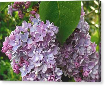 Lovely Luscious Lilacs Canvas Print