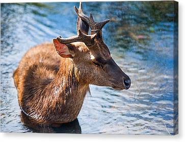 Lovely Time In Water 2. Male Deer In The Pampelmousse Botanical Garden. Mauritius Canvas Print by Jenny Rainbow